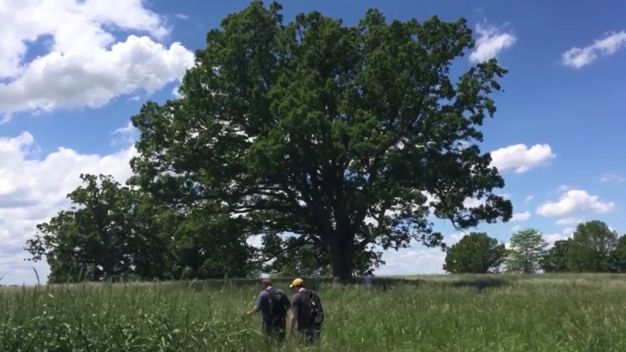 Genesee Valley oak tree