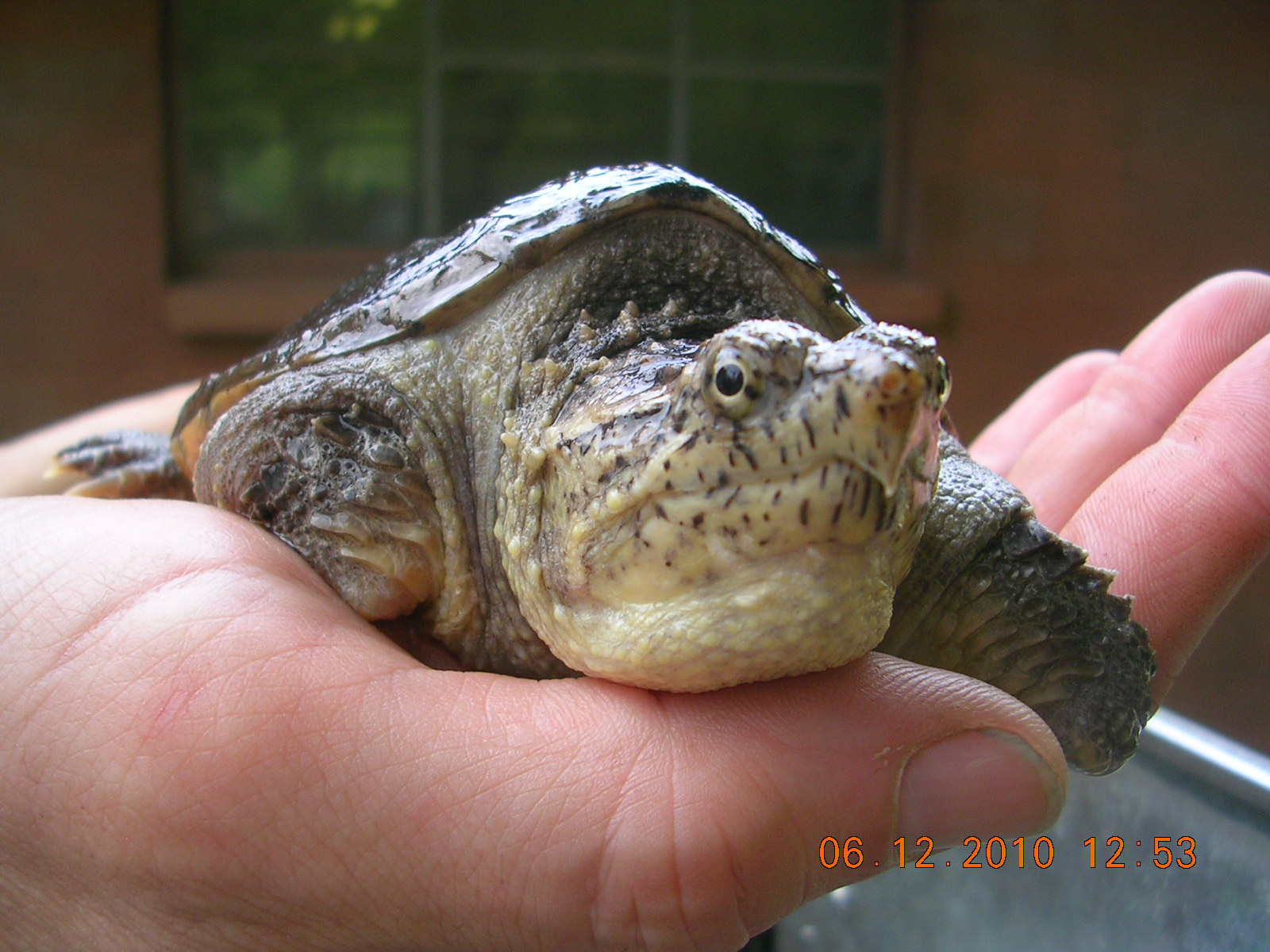 young snapping turtle held in my hand