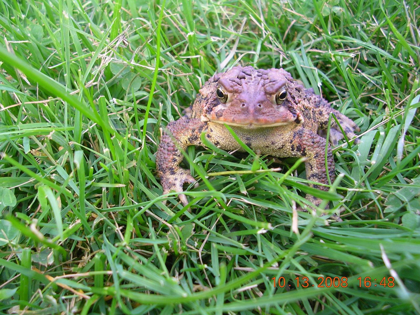 american toad in grass in daylight
